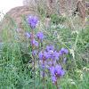 Peurankello; Clustered Bellflower