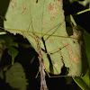 Winged Stick Insect - Male