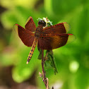 Indonesian Red-Winged Dragonfly