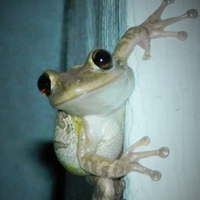 Night Visitor by Cheryl Beaudoin - Animals Other ( bely, suction toes, frog, amphibian, night, smile, eyes,  )
