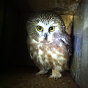 Northern Saw-Whet Owl