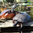 Northern Red-bellied Cooters