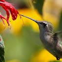 Ruby-Throated Hummingbird (immature)
