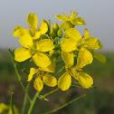 Indian mustard flower