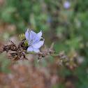 Wild Chicory