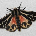 Harnessed Tiger Moth - Hodges#8169