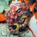 Mototi Blue Ring Octopus