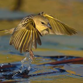 Weaver by Karen Seidel - Animals Birds