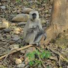 Grey langur or Hanuman langur