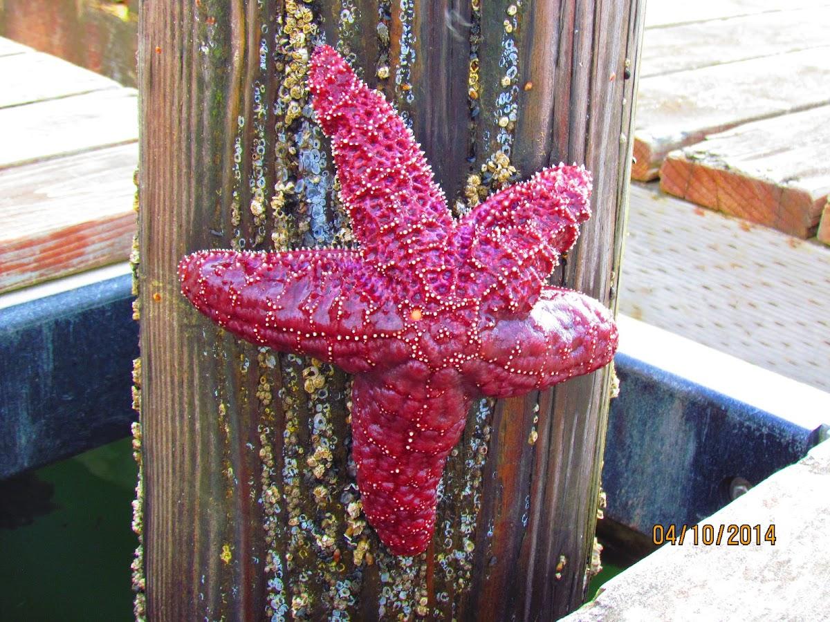 Ochre Star