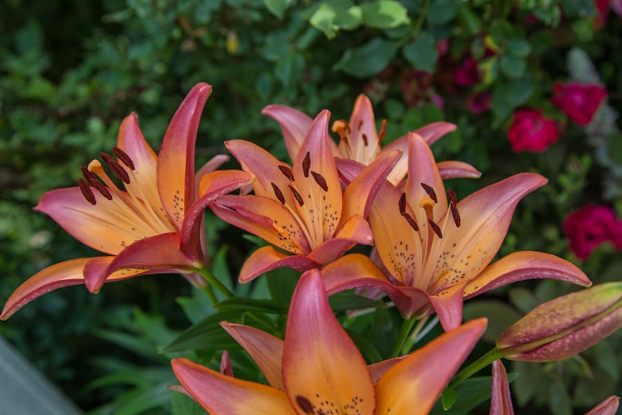 Asian Lilies by Mark Streit - Flowers Flower Gardens ( lily, blooms, summer, garden )
