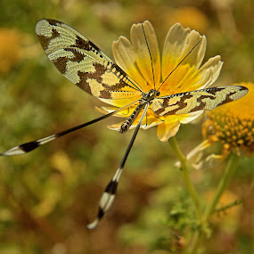Lacewing by Graham Mulrooney - Animals Insects & Spiders ( lacewing, horizontal, greece, samos, daisy, insect,  )