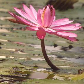 Head high........... by Chandradeep Ghosh - Flowers Single Flower