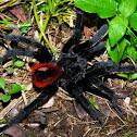 Mexican red-rump tarantula