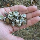 freshwater shells
