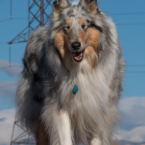 The Beauty by Karin Bennett - Animals - Dogs Portraits ( dogs, outdoors, portrait )