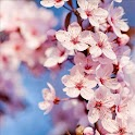 Cherry Blossoms Sakura LWP logo