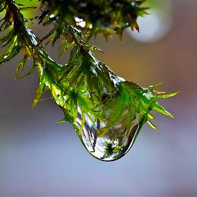 Moss on a Rainy Day by Joan Rankin Hayes - Nature Up Close Natural Waterdrops ( water, macro, nature, moss, drops, rain )