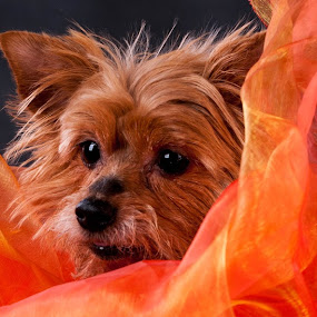 Happiness in Orange by Renata Horáková - Animals - Dogs Portraits ( yorkshire terrier, dog portrait, dog,  )