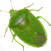 Stink Bug Decision Aid
