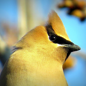 Cedar Waxwing  by Patti Hobbs - Animals Birds ( cedar waxwing birds animals spring cherry )