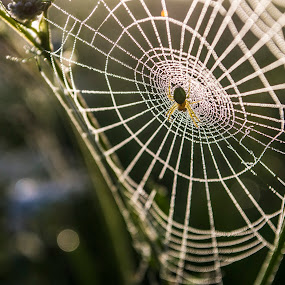 Green spider by Suciu Corina - Nature Up Close Webs ( nature, green, plants, spider, web, , renewal, trees, forests, natural, scenic, relaxing, meditation, the mood factory, mood, emotions, jade, revive, inspirational, earthly )