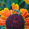 Female Green Sweat Bee
