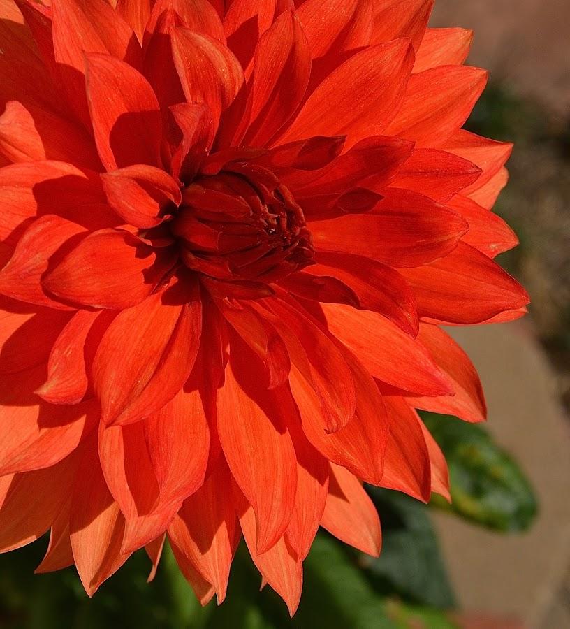 Grand Opening by Ed Hanson - Flowers Single Flower ( orange, nature, dahlia, close-up, flower )