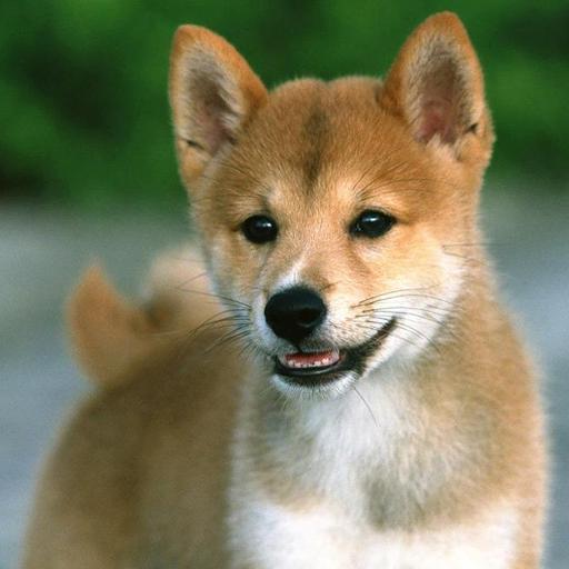 个人化の柴犬の壁紙 LOGO-記事Game