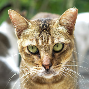 Eye of the Tiger - Cat by BoonHong Chan - Animals - Cats Portraits ( cats, eye of the tiger, cat, pet, eyes, animal )