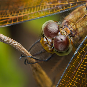 Eye of Dragonfly...:) by Ismail Rali - Animals Insects & Spiders ( macro, animals, green, malaysia, insects, dragonfly, sarawak, eyes )