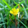 Yellow Wood Sorel