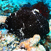 Commerson´s frog fish (black)