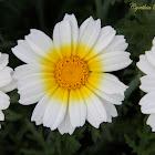 Garland Chrysanthemum