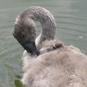 Mute Swan Cygnet part 2