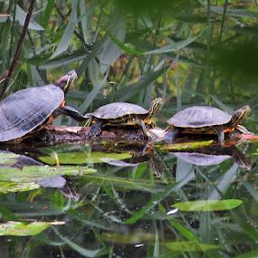 Male kornjačice, by Katica Pecigoš-Kljuković - Animals Reptiles ( ribiči s jaruna )