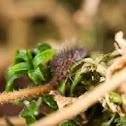 Orchesella villosa