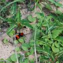 Red Velvet Ant (Female)