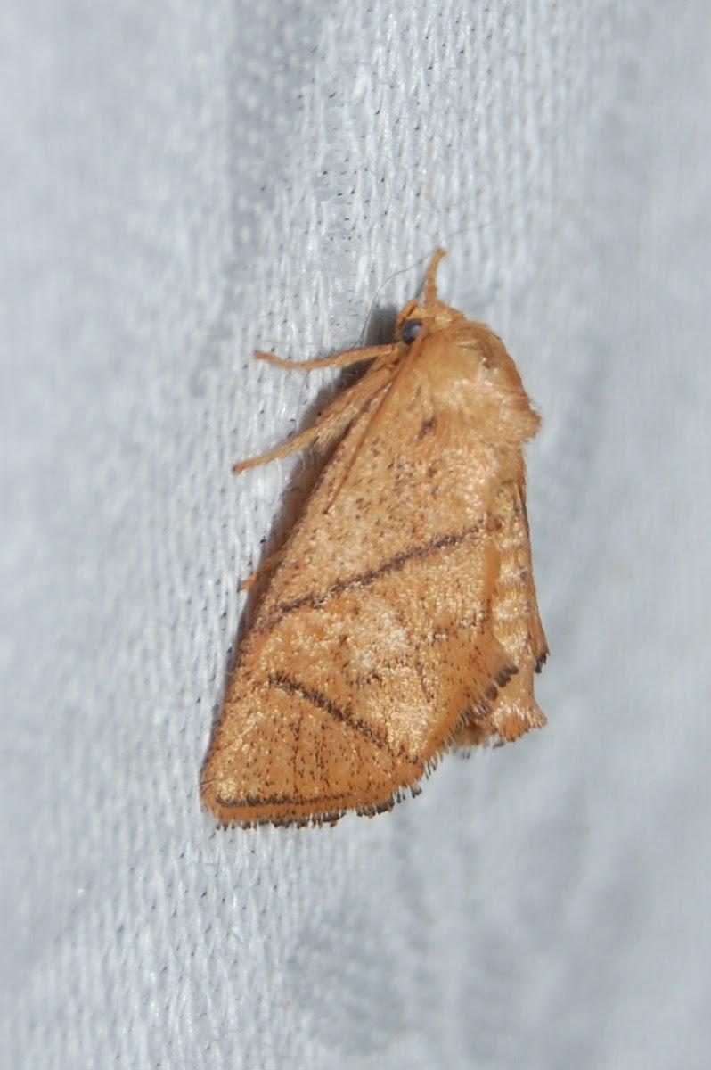 Yellow-collared Slug Moth