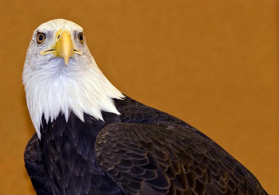 Eagle by Sue Matsunaga - Novices Only Wildlife