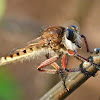Red-footed cannibal fly