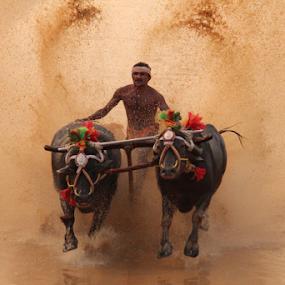 Buffallo race by Prithiviraj Kiridarane - News & Events Entertainment ( india, buffallo, race, karnataka, entertainment )