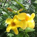 Yellow Bell / Golden Trumpet