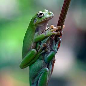 couple by Yadi Setiadi - Animals Amphibians