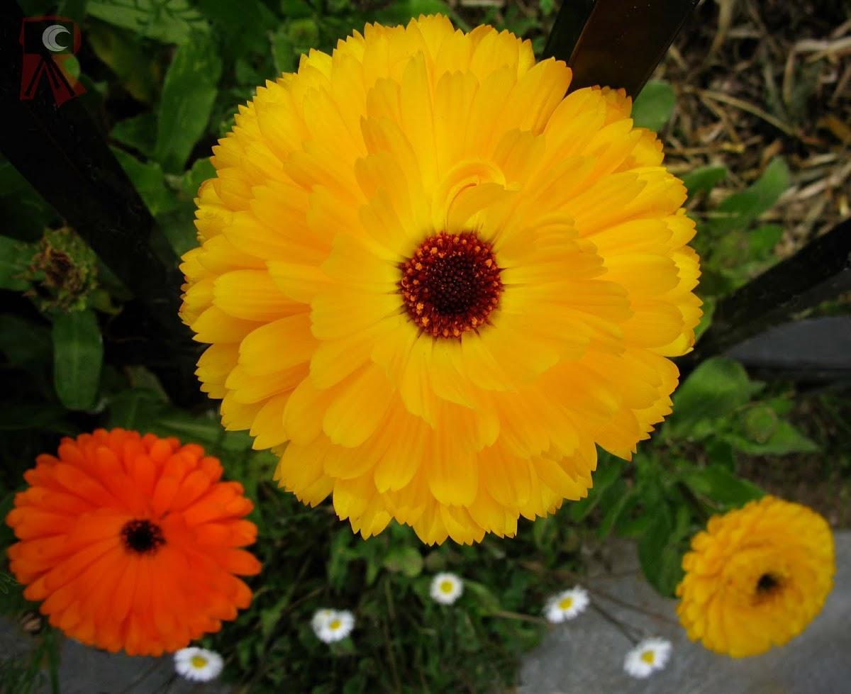 Marigold, Pot Marigold