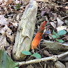 common stinkhorn