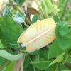 Stink bug/Shield bug nymph