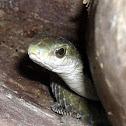 African Tree Snake (Female)
