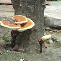Bracket fungus and Lingzhi mushroom