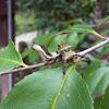 Viceroy Caterpillar